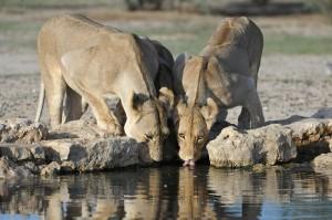 Lions Kgalagadi 777
