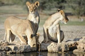 Lions Kgalagadi 444