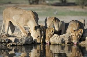 Lions Kgalagadi 222