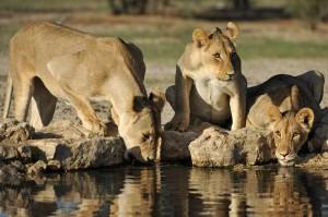 Lions Kgalagadi 111