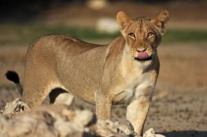 Lions Kgalagadi 19