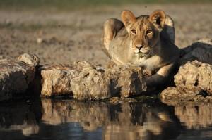 Lions Kgalagadi 18