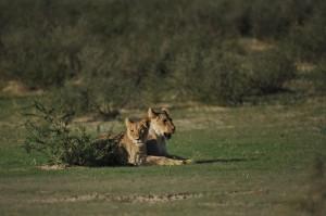 Lions Kgalagadi 17