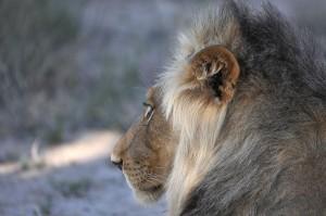 Lions Kgalagadi 16