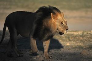 Lions Kgalagadi 15