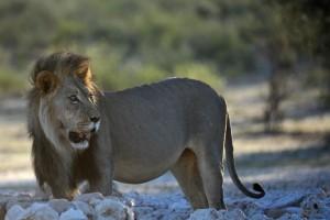 Lions Kgalagadi 13