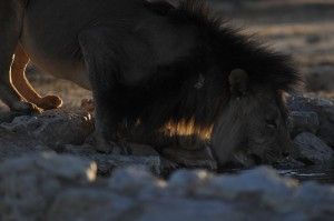 Lions Kgalagadi 12