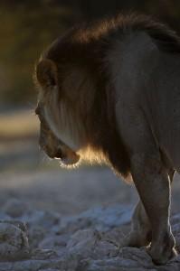 Lions Kgalagadi 5
