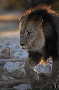 Lions Kgalagadi 7