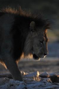 Lions Kgalagadi 3