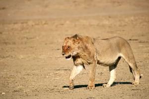 Lions Kgalagadi 11
