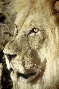 Lions Kgalagadi 2