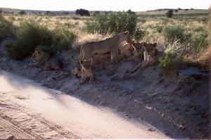 Lions Kgalagadi 10