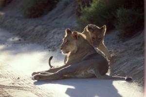 Lions Kgalagadi 9