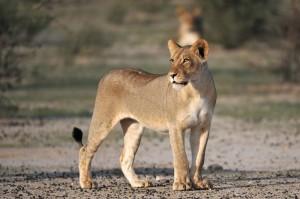 Lions Kgalagadi