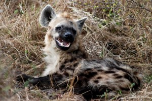 Wildlife Hyena