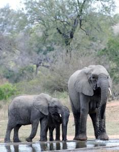 Wildlife Elephant